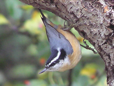 An inquisitive nuthatch wonders how to get in touch