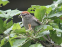 The Chipping Sparrow