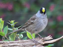 The Golden-crowned Sparrow