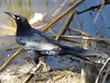 The Great-tailed Grackle
