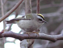 The Golden-crowned Kinglet