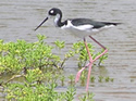 Birds of North America Crossword #5: Shore and Wading Birds