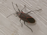 Bug of the Month - click to visit