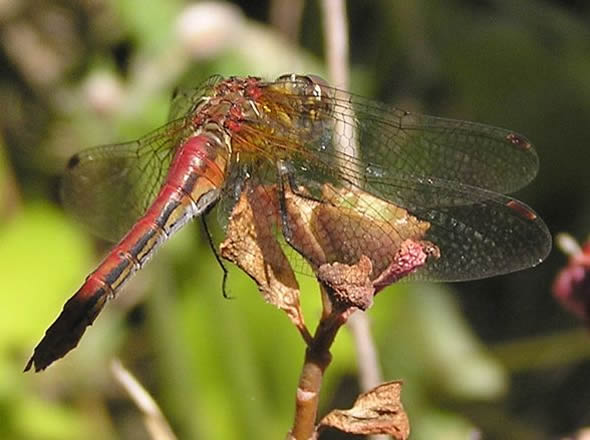 Striped Meadowhawk Dragonfly, Sympetrum pallipes