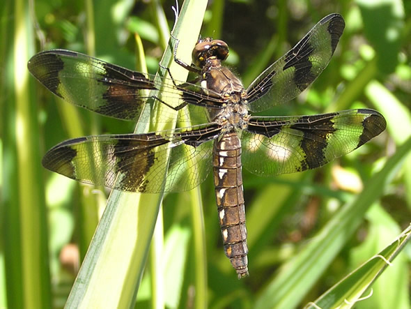 Common Whitetail Dragonfly, Plathemis llydid, female