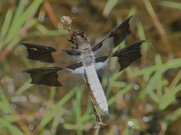 Common Whitetail Dragonfly, Plathemis llydid, male