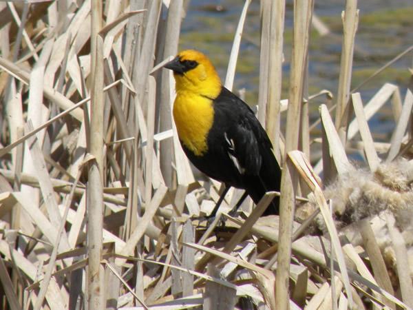 Yellow Headed Blackbird Range Yellow Headed Blackbir...