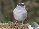 Golden-crowned Sparrow
