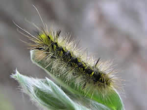 Silver-spotted Tiger Moth Caterpillar
