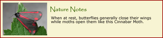 Click here to do some online jigsaw puzzles featuring our butterflies and moths.