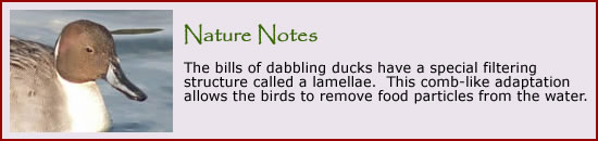 To learn more about dabbling and diving ducks, click here.