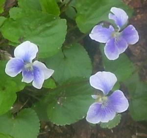Wood Violet