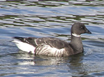 Brant - Click to visit