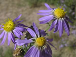 Blue/Purple Wildflowers