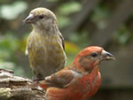Red Crossbill - Click to visit