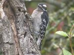 Downy Woodpecker - Click to visit.