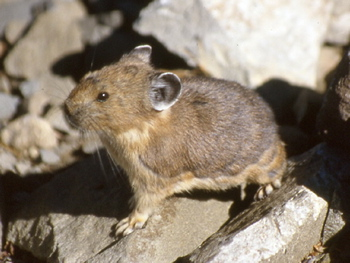 The Pika