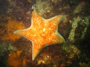 Leather sea star, Dermasterias inbricata
