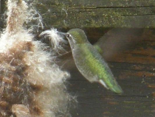 Hummingbird and bullrush fluff