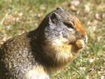 The Columbian Ground Squirrel