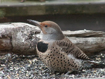 Flicker on a Feeding Table