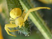 Spider Phoro Gallery