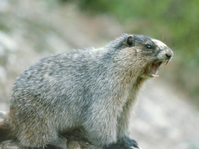 Hoary Marmot