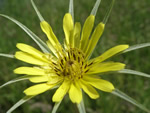 Wildflower of the Month - click to visit
