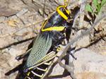 Nov Bug