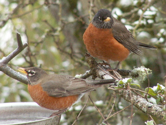 Robins at the water feeder