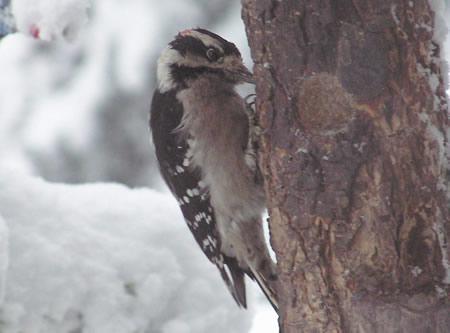 Downy woodpecker hangs on tightly enjoying a feast on a snowy day