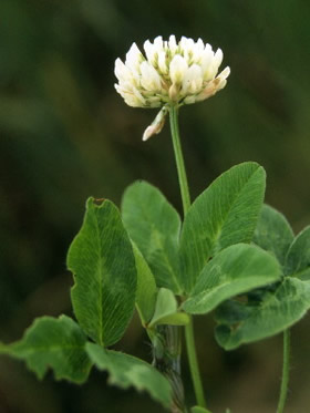 Bulk White Dutch Clover Seeds Trifolium Repens |White Clover Plant