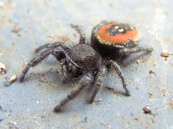 Black jumping spider with red dot - photo#30