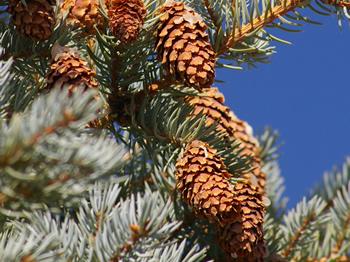 Western Red Cedar Cone Colorado blue spruce conesWestern Red Cedar Cones