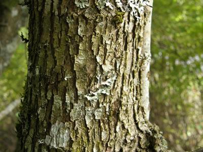 Hawthorn Tree Bark Oneseed Hawthorn Bark