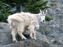 The Mountain Goat